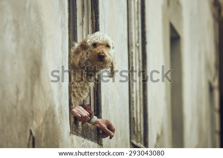Curious fluffy golden poodle dog sitting on a window sill between the owner's hands. Dog with human hands illusion. Dog and human symbiosis. - stock photo