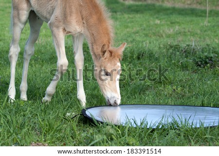 Curious foal explores the reflective plate