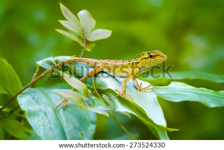 Curious forest lizard, resting on a green leafy plant and keeping watch on his surroundings in a wilderness area of Thailand - stock photo