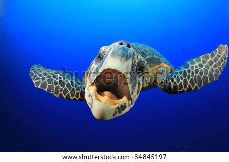 Curious friendly Hawks Bill Sea Turtle in blue water