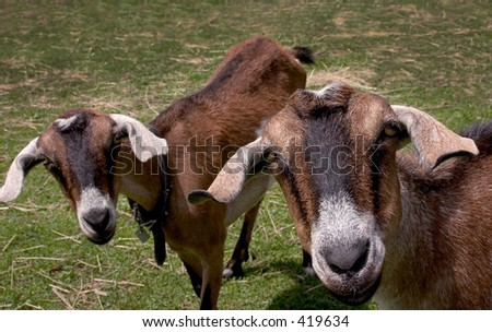 Curious Goats - stock photo