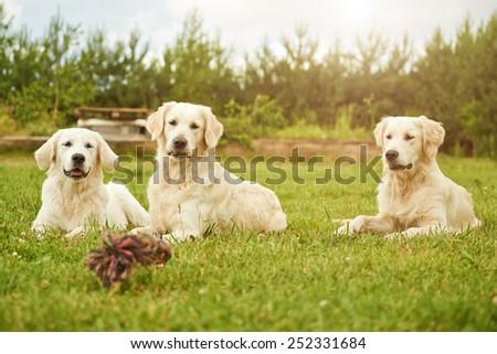 Curious golden retriever family. - stock photo