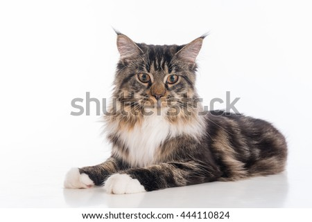 Curious Gray Maine Coon Cat Lying on White Desk with Reflection. White Background. Portrait.