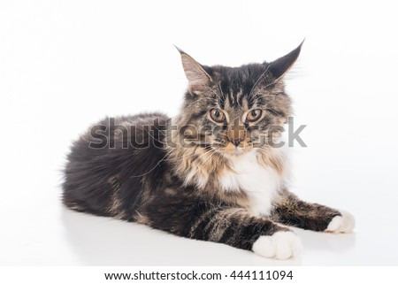 Curious Gray Maine Coon Cat Lying on White Desk with Reflection. White Background. Portrait - stock photo