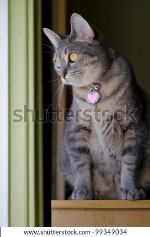 curious grey mack tabby cat sitting on shelf near windowsill - stock photo