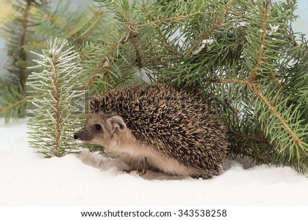 curious hedgehog, Atelerix albiventris, in the snow hidden under fir branches - stock photo