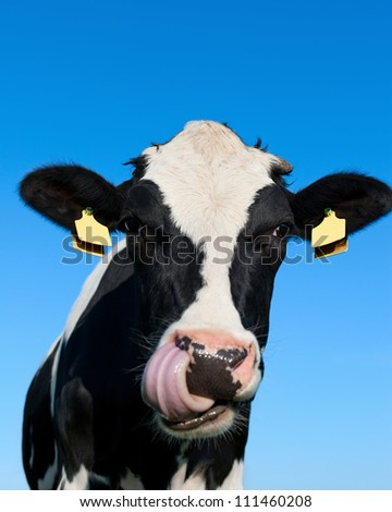 Curious Holstein cow - stock photo