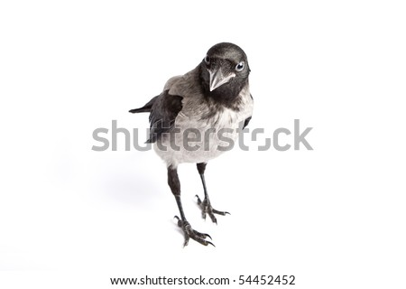 Curious hooded Crow (Corvus cornix) , isolated on white background - stock photo