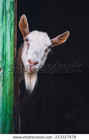 curious hornless goat looking into the camera - stock photo
