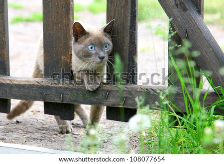 Curious hunting young blue-eyed siamese cat - stock photo