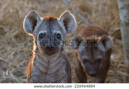 Curious Hyena Pup at Kruger National Park, South Africa - stock photo