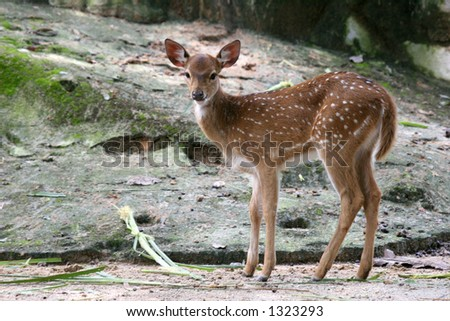 Curious juvenile spotted deer - stock photo