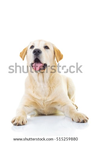 curious labrador retriever dog is looking up to something on white background