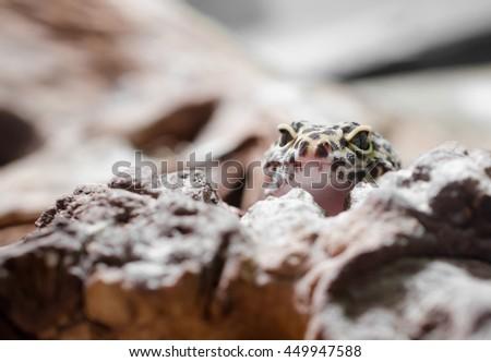 curious leopard gecko - stock photo