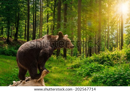 curious little bear on a dry lumber in the forest in sunlight rays - stock photo