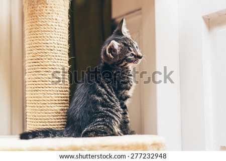 Curious little grey stripe tabby kitten sitting watching something with its tilted head to one side , profile view facing right - stock photo