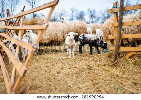 Curious little lamb staring at camera and eating grass - stock photo
