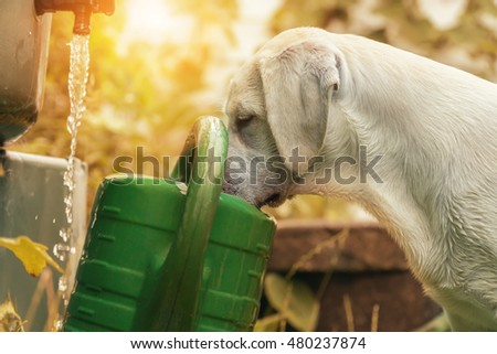 Curious little sweet cute puppy looks in a watering - Thirsty Dog