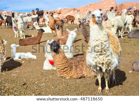 Curious llamas herd on the field in a sunny day in Peru with soft focus