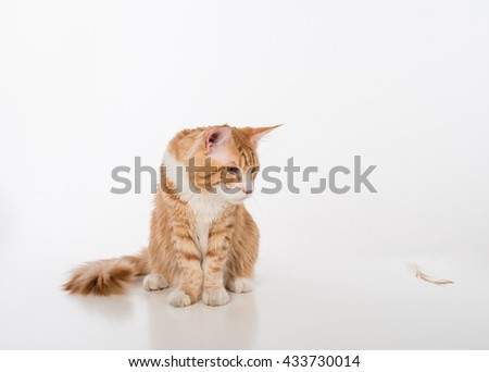 Curious Maine Coon Cat Sitting on the White Table with Reflection and Looking into Flying Feather. White Background. - stock photo