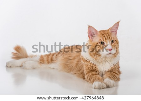 Curious Maine Coon Cat Sitting on the White Table with Reflection. White Background. Looking Right.