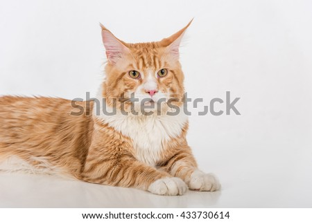 Curious Maine Coon Cat Sitting on the White Table with Reflection. White Background. Looking Up. Portrait.