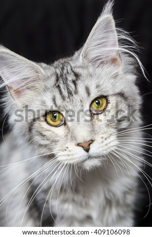 Curious Maine coon cat with beautiful eyes! On black background - stock photo