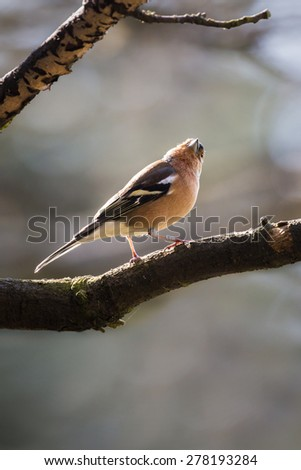 Curious Male Chaffinch perched on a British woodland tree branch - stock photo