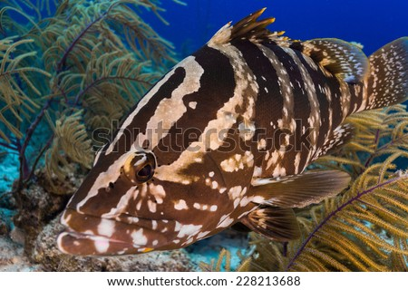 Curious nassau grouper - stock photo