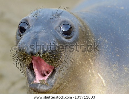 curious new born elephant seal pup / infant / baby looking at camera with wide eyes, big sur, california