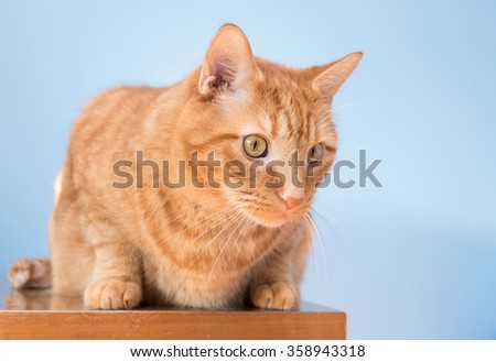 Curious Orange Tabby Cat in a Crouching Position Against a Blue Background. - stock photo