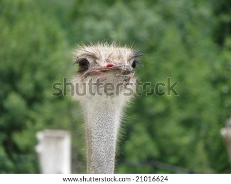 Curious ostrich - stock photo