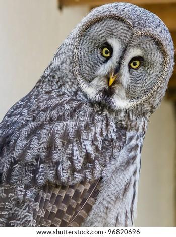 Curious Owl stares at the camera - stock photo