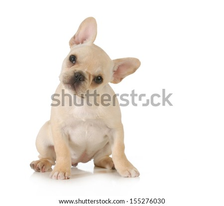 curious puppy - adorable french bulldog puppy with cute expression looking at viewer on white background - stock photo