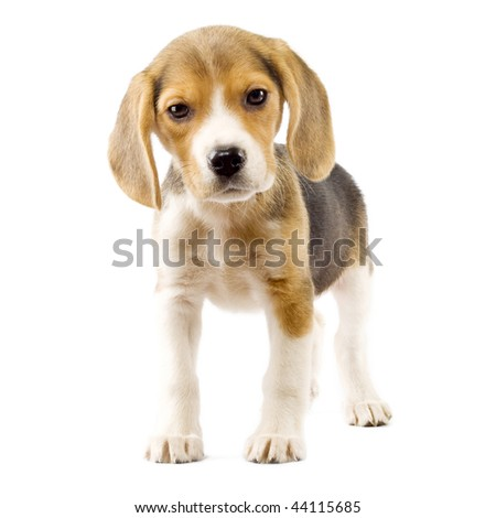curious puppy beagle in front of white background - stock photo