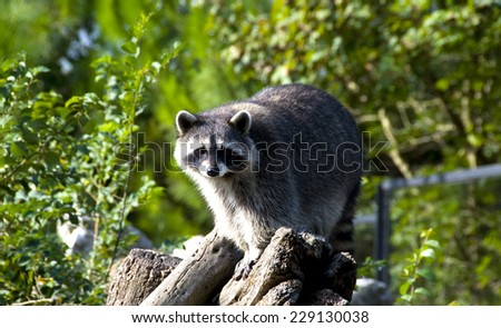 Curious raccoon - stock photo