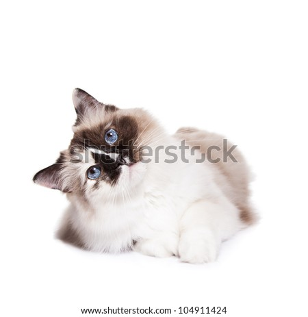 Curious Ragdoll Cat on a White Background - stock photo