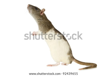 Curious rat on white background - stock photo