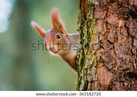 Curious red squirrel peeking behind the tree trunk - stock photo