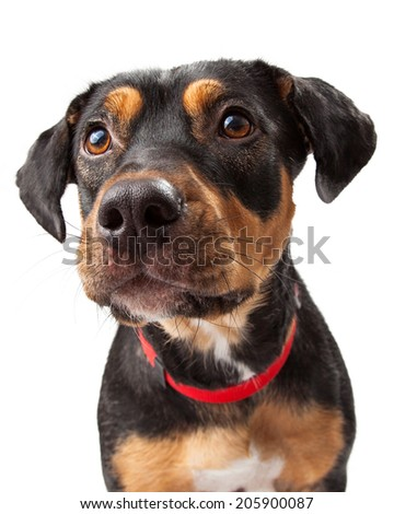 Curious Rottweiler young dog looks to the side of the camera