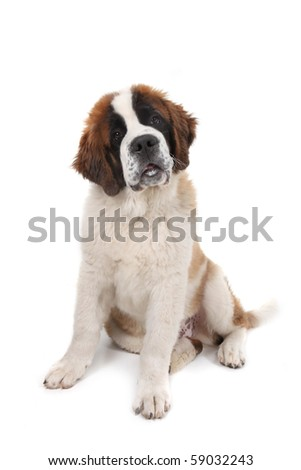 Curious Saint Bernard Puppy Sitting Down With Head Tilted in Studio Shot