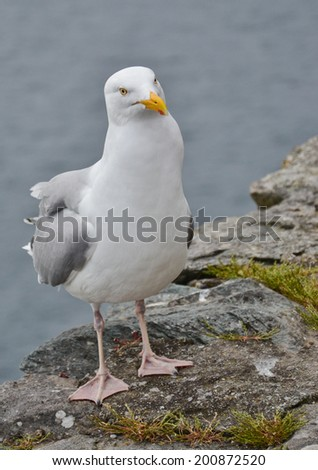 Curious Seagull standing on the shore - stock photo