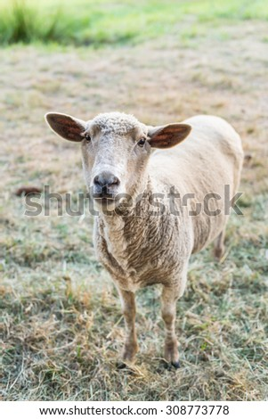 Curious sheep, funny domestic animal - stock photo