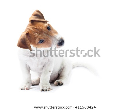 Curious sitting dog puppy tilt head funny. Jack Russell Terrier puppy isolated on white - stock photo