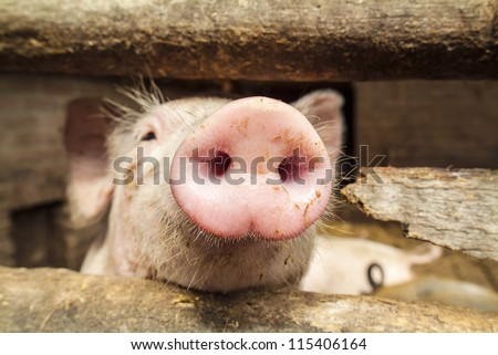 Curious small newborn pig in a wooden stable - stock photo