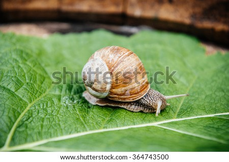 Curious snail in the garden on green leaf - stock photo