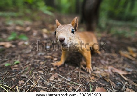 curious squirrel in the woods, land in the forest - stock photo