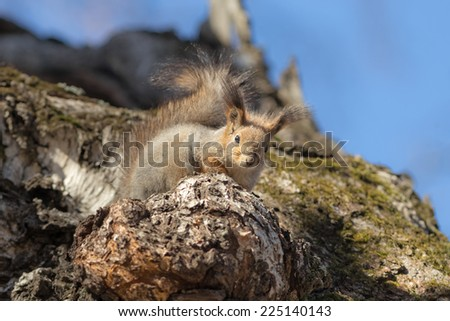 curious squirrel sitting on a birch in spring