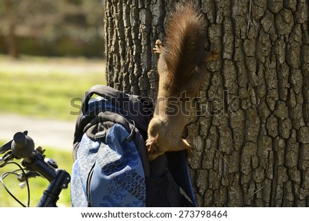 Curious squirrel trying to get inside backpack in search of food  - stock photo