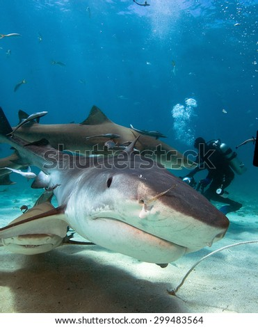 Curious tiger shark swims to the divers camera. - stock photo